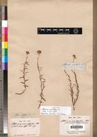 Isotype of Athrixia sessilifolia DC. [family ASTERACEAE]
