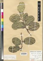 Isotype of Casearia mauritiana Bosser [family FLACOURTIACEAE]