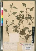 Holotype of Strobilanthes perrieri Benoist [family ACANTHACEAE]