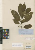 Isotype of Peschiera blanda Miers [family APOCYNACEAE]