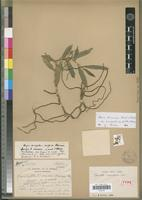 Holotype of Oeoniella sarcanthoides Schltr. [family ORCHIDACEAE]