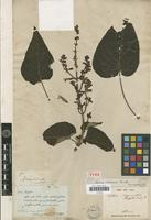 Holotype of Salvia rubescens Kunth [family LAMIACEAE]