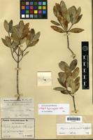 Lectotype of Alyxia myrtoides Schltr. [family APOCYNACEAE]