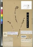 Holotype of Spiranthes grisebachii Cogn. [family ORCHIDACEAE]