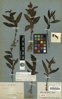 Isolectotype of Brachycorythis laotica (Gagnep.) Summerh. [family ORCHIDACEAE]