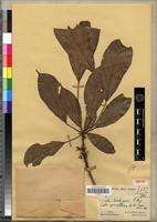 Isotype of Cola limbengensis Pellegr. [family STERCULIACEAE]