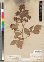 Type of Rubus exsuccus A. Rich. [family ROSACEAE]
