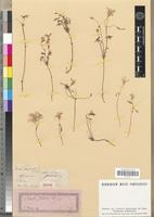 Isotype of Oxalis stellata Eckl. & Zeyh. [family OXALIDACEAE]