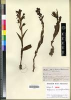 Isotype of Habenaria microstylina Reichb. f. [family ORCHIDACEAE]