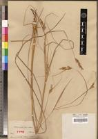Type of Andropogon monatherus A.Rich. [family POACEAE]
