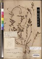 Holotype of Secamone discolor K.Schum. & Vatke [family ASCLEPIADACEAE]
