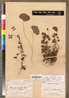 Isotype of Marsilea perrieriana C.Chr. [family PTERIDOPHYTA]