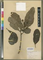 Isotype of Beilschmiedia jacques-felixii Robyns&Wilczek [family LAURACEAE]