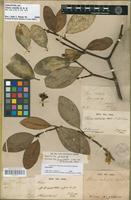 Holotype of Clusia volubilis Planch. & Triana [family CLUSIACEAE]