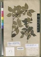 Type of Canthium erythroxyloides Baill. [family RUBIACEAE]