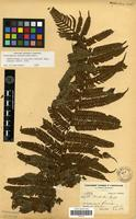 Isolectotype of Trichipteris schlimii (Mett. ex Kuhn) Barrington [family PTERIDOPHYTA]