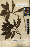 Syntype of Psychotria gogniocarpa (Baill.) Guillaumin [family RUBIACEAE]