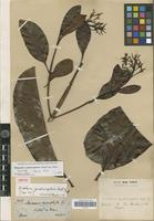Isotype of Rhigospira quadrangularis (Müll.Arg.) Miers [family APOCYNACEAE]