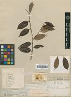 Isotype of Sideroxylon spruceanum Mart. & Miq. [family SAPOTACEAE]