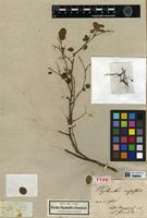 Holotype of Phyllanthus rupestris Kunth [family PHYLLANTHACEAE]
