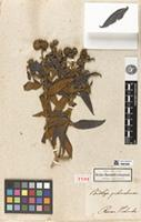 Holotype of Buddleja pichinchensis Kunth [family SCROPHULARIACEAE]