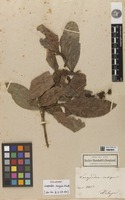 Holotype of Lacepedea insignis Kunth [family STAPHYLEACEAE]