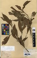 Isotype of Nectandra racemifera Meisn. [family LAURACEAE]