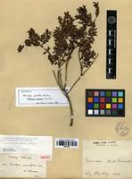 Isotype of Pernettya parvifolia Benth. [family ERICACEAE]