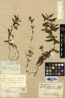 Holotype of Hyptis uliginosa A.St.-Hil. ex Benth. [family LAMIACEAE]