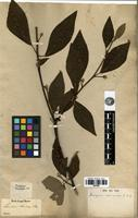 Isotype of Lindera sericea (Siebold & Zucc.) Blume [family LAURACEAE]
