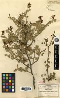 Isotype of Bauhinia uniflora S. Watson [family FABACEAE-CAESALPINIOIDEAE]