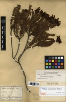 Isotype of Chamaecrista ericifolia (Benth.) H.S. Irwin & Barneby [family FABACEAE]
