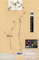 Isotype of Cerastium rivulare Cambess. [family CARYOPHYLLACEAE]