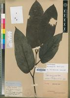 Holotype of Piper inaequale C.DC. [family PIPERACEAE]