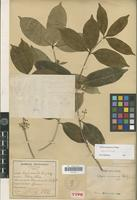 Isolectotype of Alyxia annamensis Pitard [family APOCYNACEAE]
