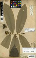 Holotype of Anona uniflora Dunal [family ANNONACEAE]