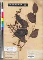 Lectotype of Trichoscypha lucens Oliv. [family ANACARDIACEAE]