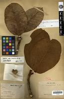 Holotype of Ficus acarouaniensis Benoist [family MORACEAE]