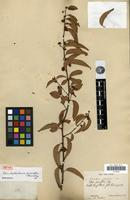 Isotype of Umbellularia parvifolia Hemsley [family LAURACEAE]