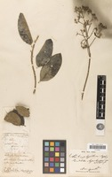 Holotype of Rondeletia rhynchospora Kunth [family RUBIACEAE]
