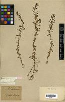 Holotype of Septas repens Lour. [family SCROPHULARIACEAE]