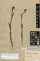 Holotype of Habenaria trifida Kunth [family ORCHIDACEAE]