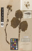 Holotype of Cacalia cordifolia Kunth [family ASTERACEAE]