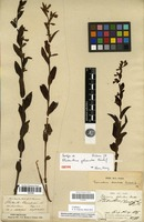 Isotype of Platanthera galeandra Rchb.f. [family ORCHIDACEAE]