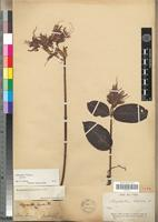 Isotype of Strophanthus hispidus A.DC. [family APOCYNACEAE]