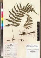 Isotype of Arthropteris anniana Lawalrée [family PTERIDOPHYTA]