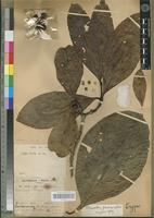 Holotype of Coffea excelsa A. Chev. [family RUBIACEAE]