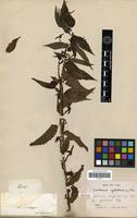 Isotype of Boehmeria phyllostachya Miq. fa. glabrior Miq. [family URTICACEAE]