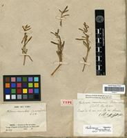 Holotype of Philoxerus vermicularis Brown var. microcephalus St.-Hil. [family AMARANTHACEAE]