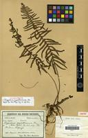 Isotype of Polypodium crystalloneuron Rosenst. [family PTERIDOPHYTA]